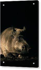 Portrait Of A Wild Boar Acrylic Print by Ulrich Kunst And Bettina Scheidulin