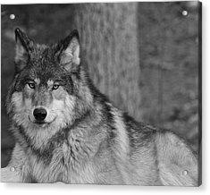 Portrait Of A Wolf Acrylic Print by Kate Purdy