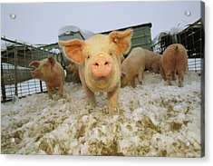 Portrait Of A Young Pig In A Snowy Pen Acrylic Print by Joel Sartore