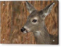 Portrait Of  Browsing Deer Acrylic Print