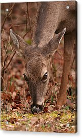 Portrait Of  Browsing Deer Two Acrylic Print