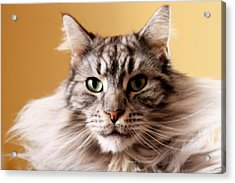Portrait Of Cat Acrylic Print by Mangini Photography
