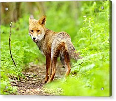 Portrait Of Fox Acrylic Print by Gary Chalker