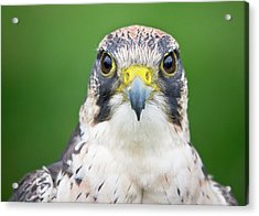 Portrait Of Peregrine Falcon Acrylic Print by Michal Baran