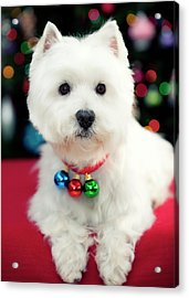 Portrait Of Puppy Acrylic Print by Paul L. Harwood