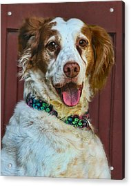 Portrait Of Springer Spaniel Dog Acrylic Print by Melinda Moore