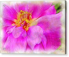 Portulaca With Texture Acrylic Print by Judi Bagwell