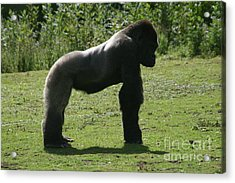 Posing Gorilla Acrylic Print by Carol Wright