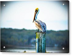 Acrylic Print featuring the photograph Posing Pelican by Shannon Harrington