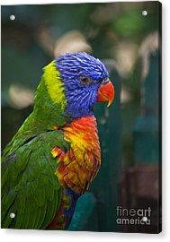 Posing Rainbow Lorikeet. Acrylic Print