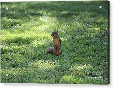 Posing Squirrel Acrylic Print