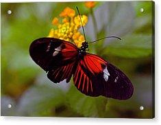 Postman Butterfly Acrylic Print by Cheryl Cencich