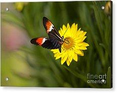 Postman Butterfly On Yellow Straw Flower Acrylic Print
