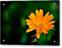 Pot Marigold Acrylic Print