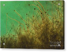 Potato Blight Mold Lm Acrylic Print by Eric V. Grave