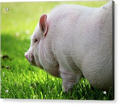 Potbelly Pig Acrylic Print by Christopher Jenkins  c/o www.luckyshotphotos.com