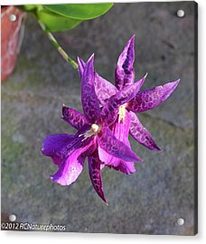 Acrylic Print featuring the photograph Potted And Purple by Rachel Cohen