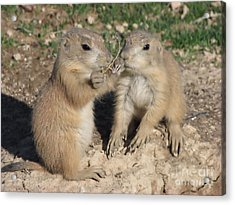 Acrylic Print featuring the photograph Prairie Dog Duo by Michelle H