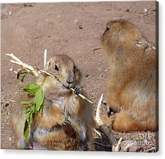 Prairie Dogs Acrylic Print by Methune Hively