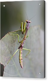praying Mantis Acrylic Print by Craig Lapsley