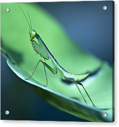 Praying Mantis IIi Acrylic Print