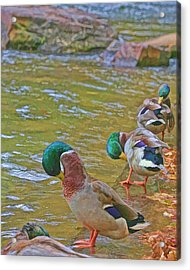 Acrylic Print featuring the photograph Preening Drakes In A Row by Gregory Scott