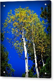 Prescott Fall Aspen Canopies Acrylic Print