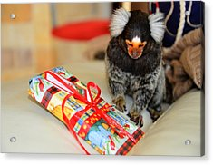 Present Time Chewy The Marmoset Acrylic Print by Barry R Jones Jr