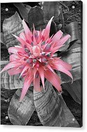 Pretty Bromeliad Acrylic Print by Carrie Munoz