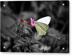 Pretty Margined White Butterfly Acrylic Print