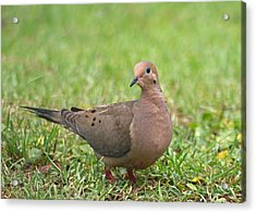Pretty Mourning Dove Acrylic Print by Jeanne Kay Juhos