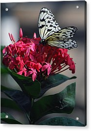 Pretty On Pink Acrylic Print by Amee Cave