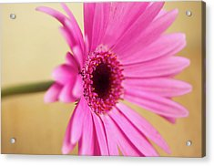 Pretty Pink Gerbera Flower Acrylic Print by Michaela Gunter