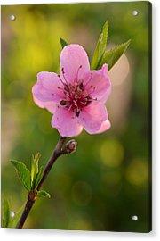 Pretty Pink Peach Acrylic Print by JD Grimes