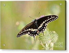 Pretty Swallowtail Acrylic Print by Ginger Harris
