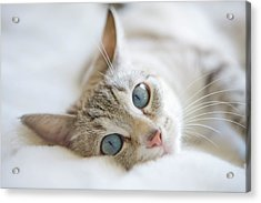 Pretty White Cat With Blue Eyes Laying On Couch. Acrylic Print
