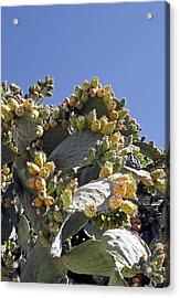 Prickly Pear Cacti (opuntia Sp.) Acrylic Print by Carlos Dominguez