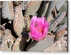 Prickly Pear Cactus Fertilized By Honey Bee Acrylic Print by Gary Whitton