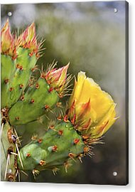 Prickly Pear Flowers Acrylic Print