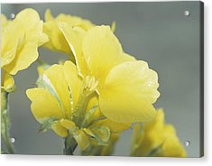 Primula Polyanthus 'hose In Hose' Acrylic Print by Archie Young