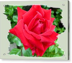 Prince Charles Rose Acrylic Print by Will Borden