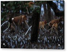 Proboscis Monkeys Travel Over Mangrove Acrylic Print by Tim Laman