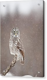 Profile Of A Great Gray Owl Acrylic Print by Tim Grams