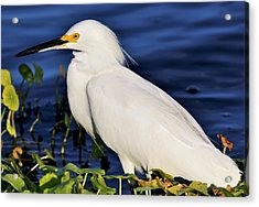 Profile Of A Snowy Egret Acrylic Print