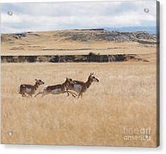 Acrylic Print featuring the photograph Pronghorn Antelopes On The Run by Art Whitton
