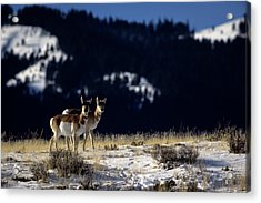 Pronghorn (antilocarpa Americana) Acrylic Print by Altrendo Nature