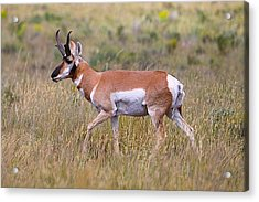 Acrylic Print featuring the photograph Pronghorn Buck by Drusilla Montemayor