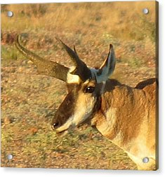 Pronghorn Catching Light Acrylic Print by Feva  Fotos