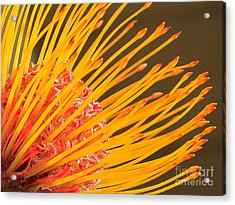Protea Acrylic Print by Ranjini Kandasamy
