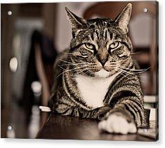 Proud Cat Acrylic Print by Olga Tremblay